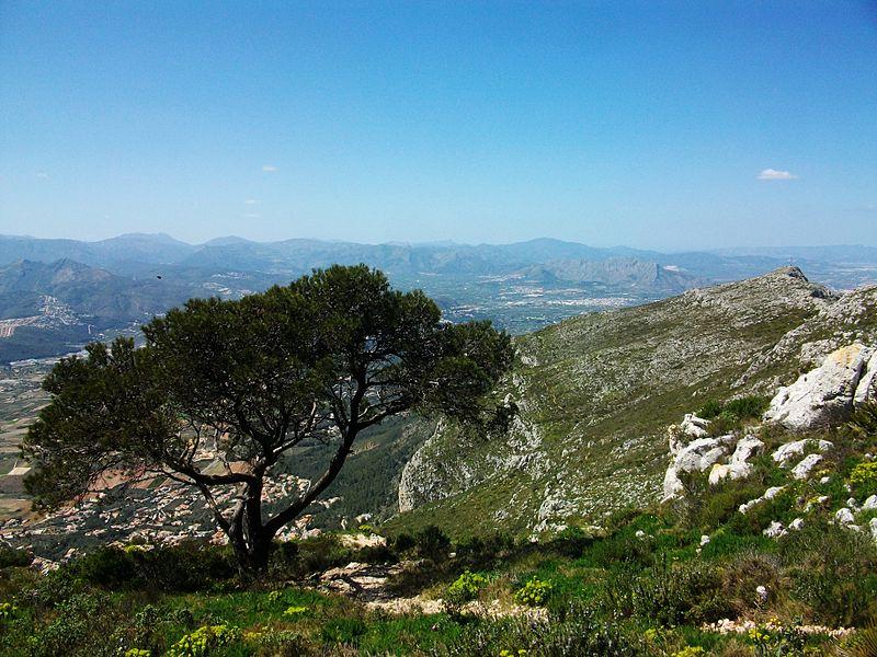Argentica Pinus